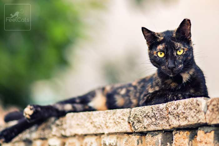 gato-tricolor-carey