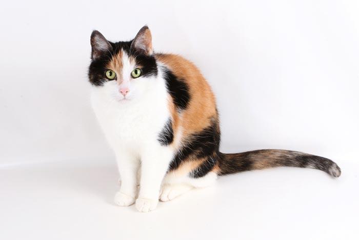 Gatos tricolor ¿todas son hembras? genética y leyenda | FeelCats