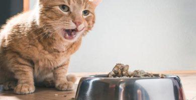 gato-vomita