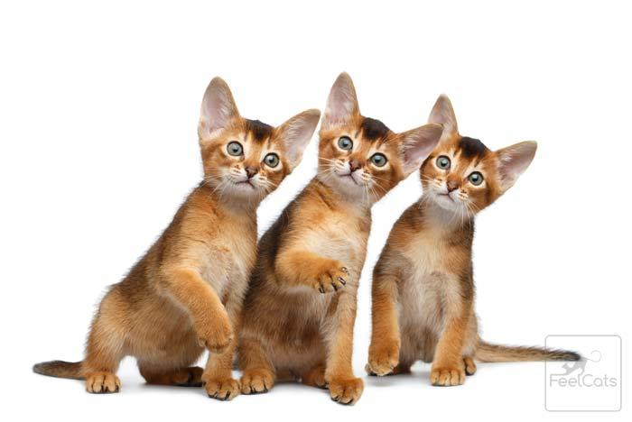 gatos-abisinios