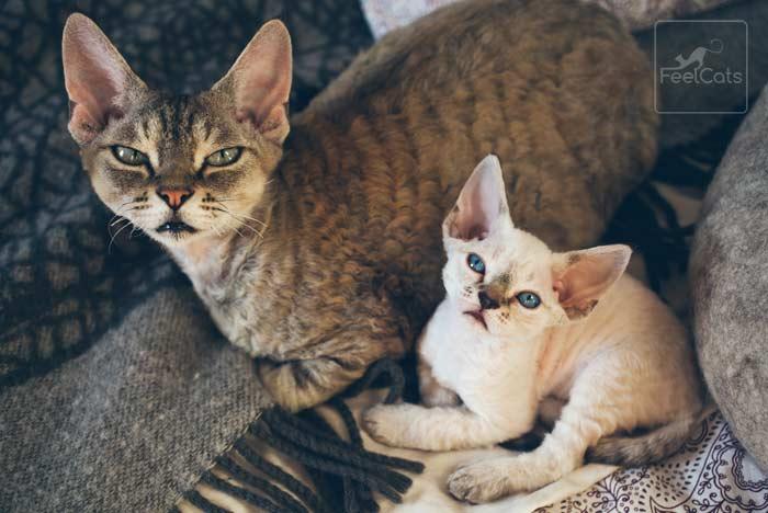 gatos-devon-rex-camada