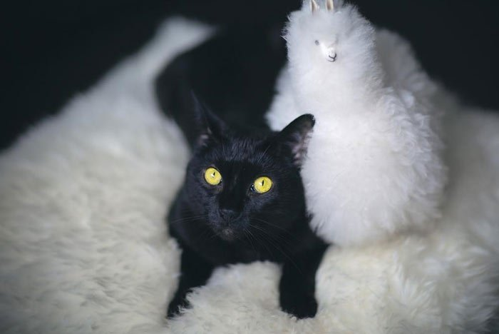 bombay-gato-raza