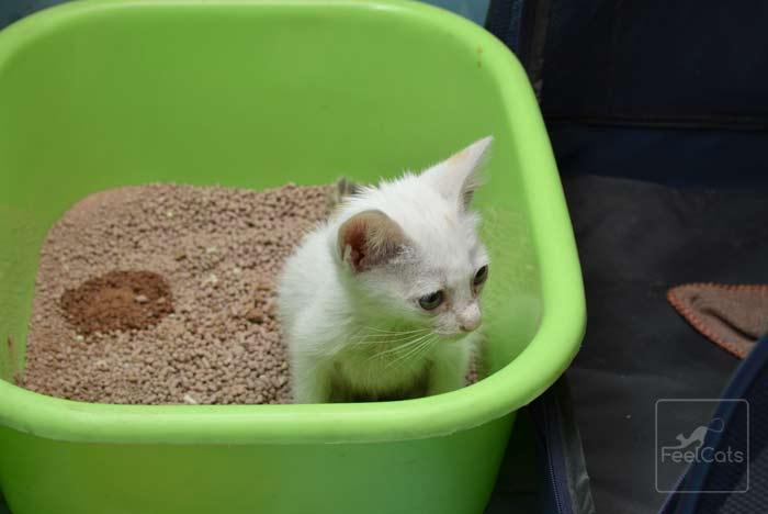 diarrea-gatos-bebes
