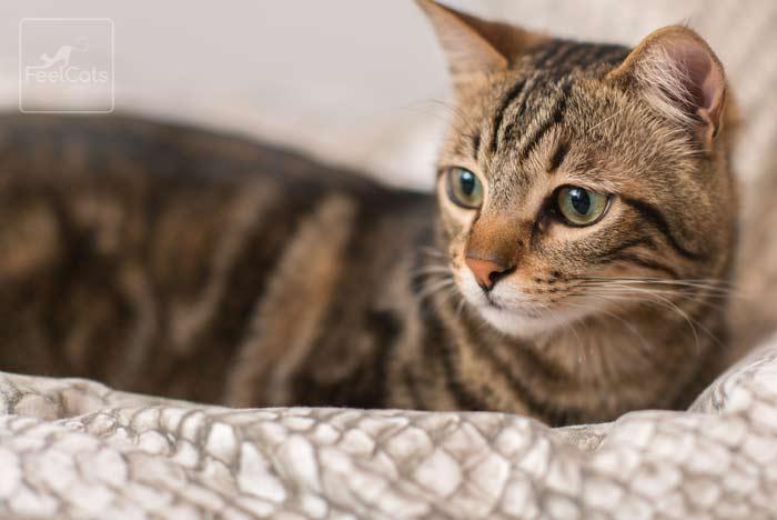 diarrea-en-los-gatos