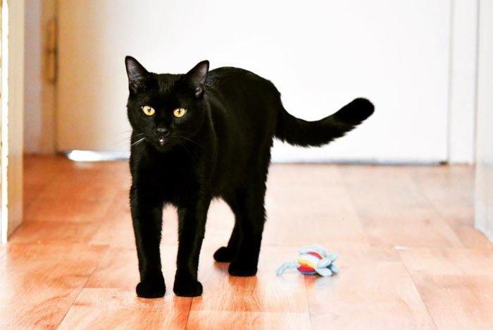 gato-bombay-comprar