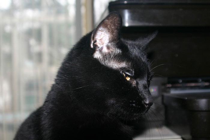 bombay-gato-salud