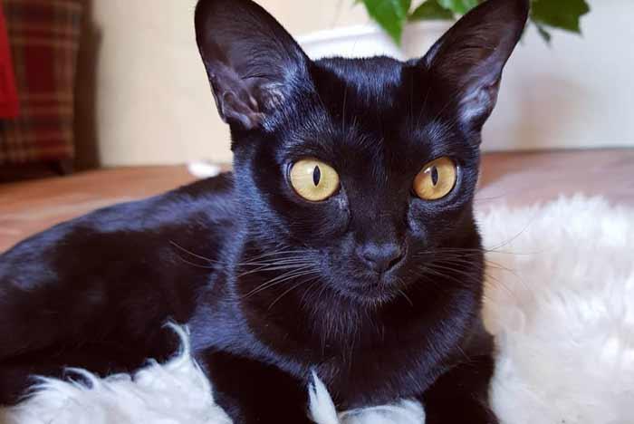 gato-pantera-bombay