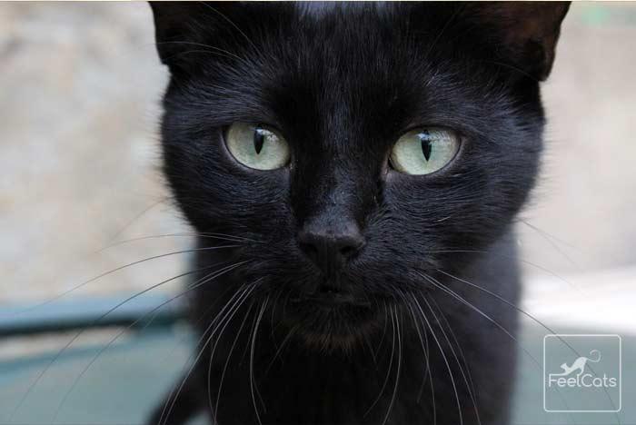 gato-negro-cuidados