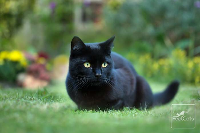 ▷ Gato negro ¿Conoces estos gatos únicos? Curiosidades sobre ellos