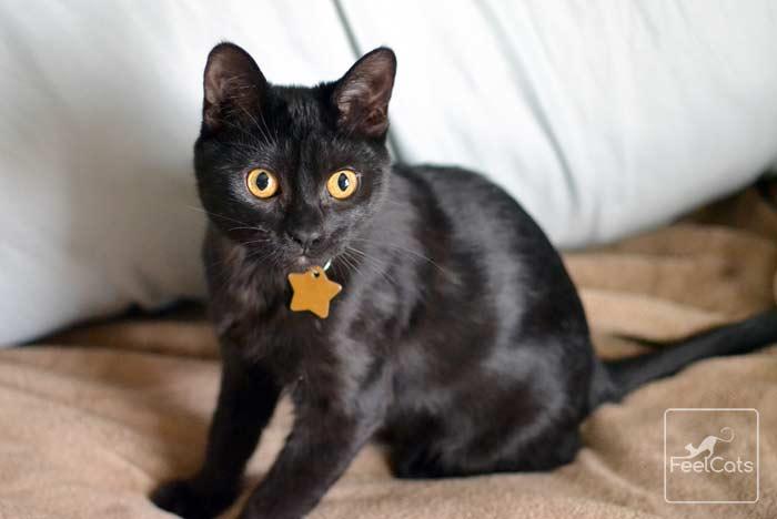 gato-negro-adoptar