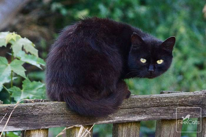 gato-negro-de-pelo-largo