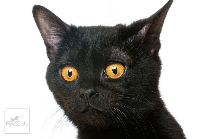 bombay-gato
