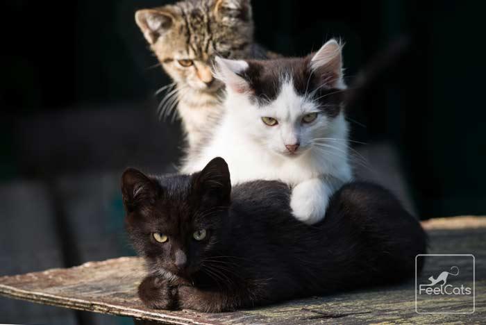 gato-negro-adopcion