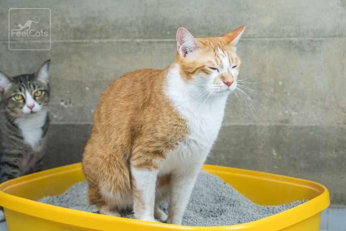 diarrea-gato