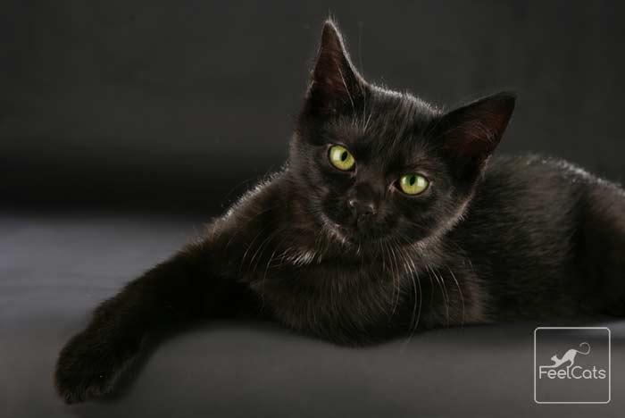 gato-negro-color