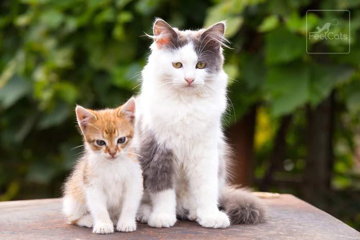 vacunas-a-los-gatos