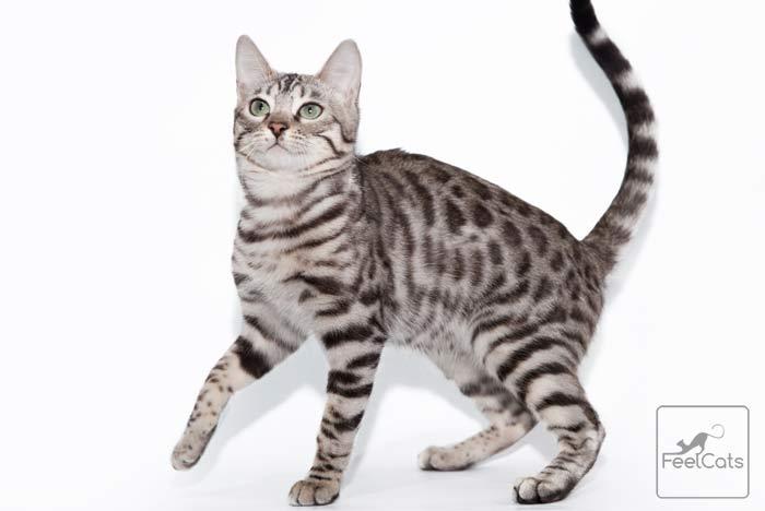 atigrado-gato-moteado