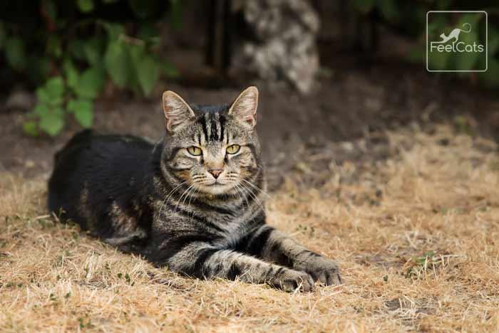 gato-atigrado-gris