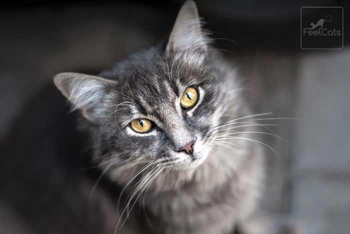 gato-gris-atigrado