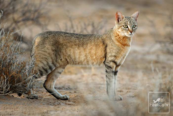 gato-atigrado-salvaje