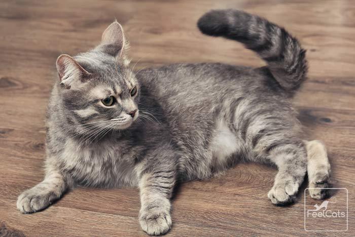gato-atigrado-tic