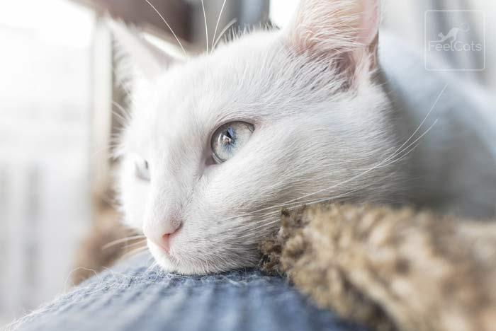 gato-blanco-informacion