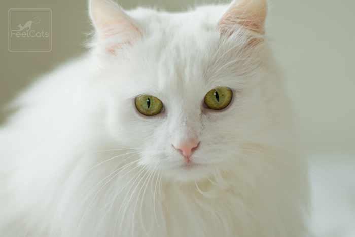 gato-blanco-pelo-largo