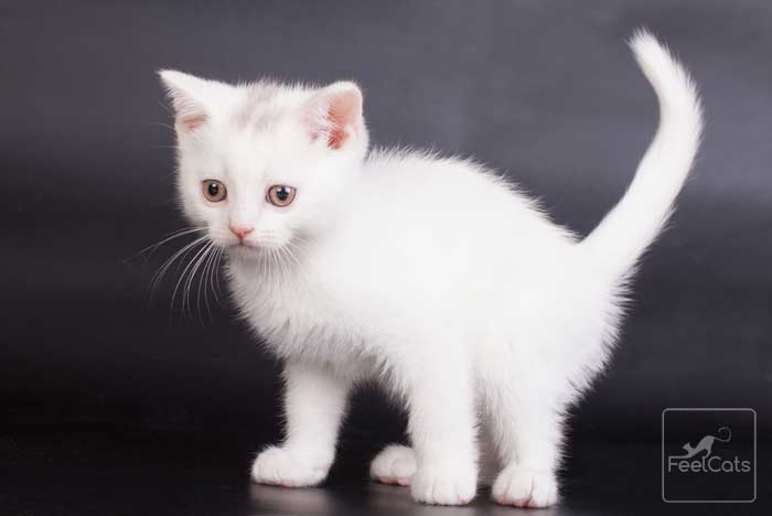 Gatos Blancos Con Manchas Negras Bebes