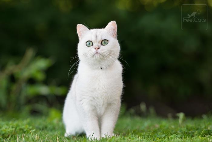 gatos-blancos