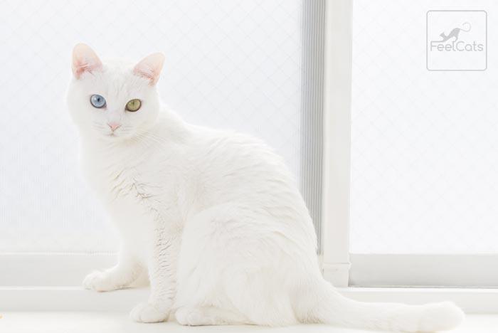 gato-blanco-heterocromia