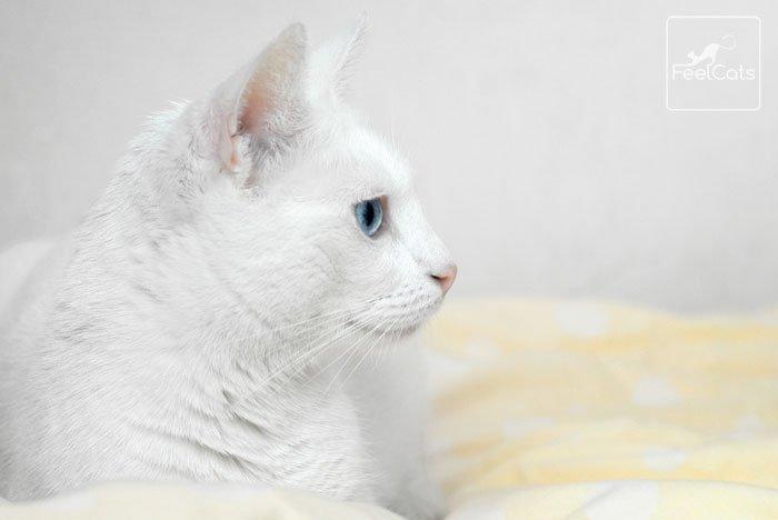 gato-blanco-ojos-azules