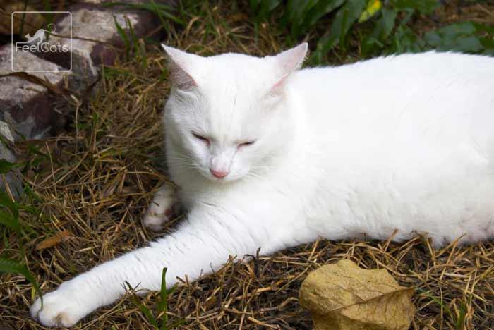 gato-comun-blanco