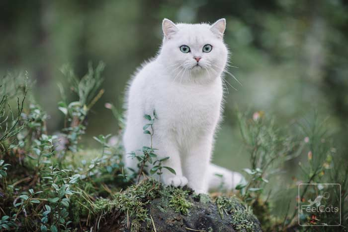 gato-blanco-razas