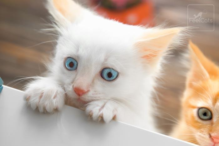 gatito-blanco
