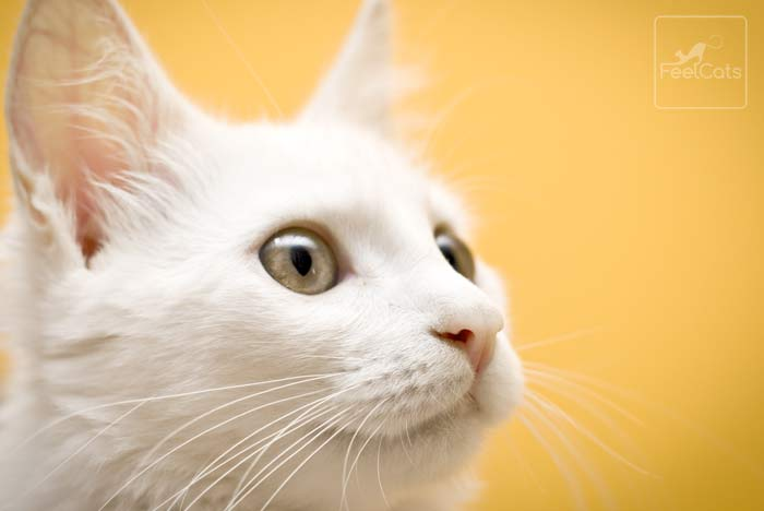 gato-blanco-sordo