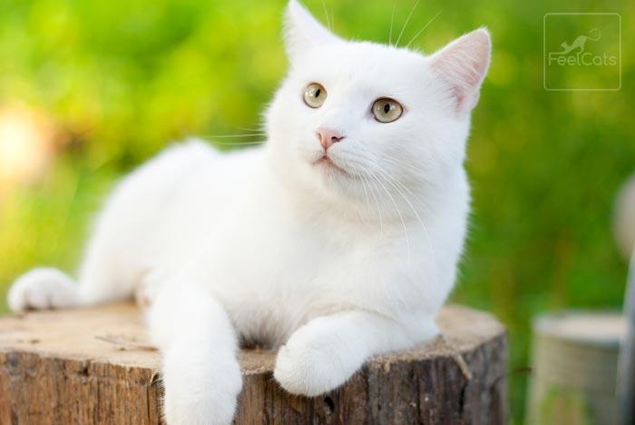 gato-blanco-origen