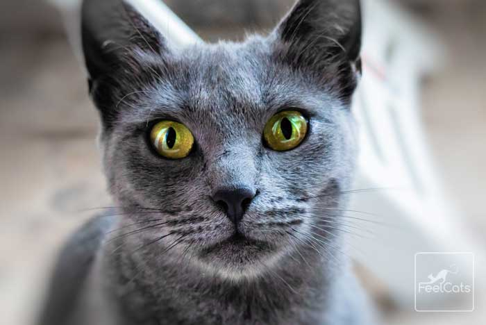 gato-gris-azul-ruso
