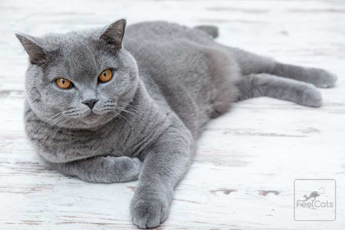 gatos-grises-british-shorthair
