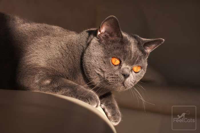 gris-gato-cartujo