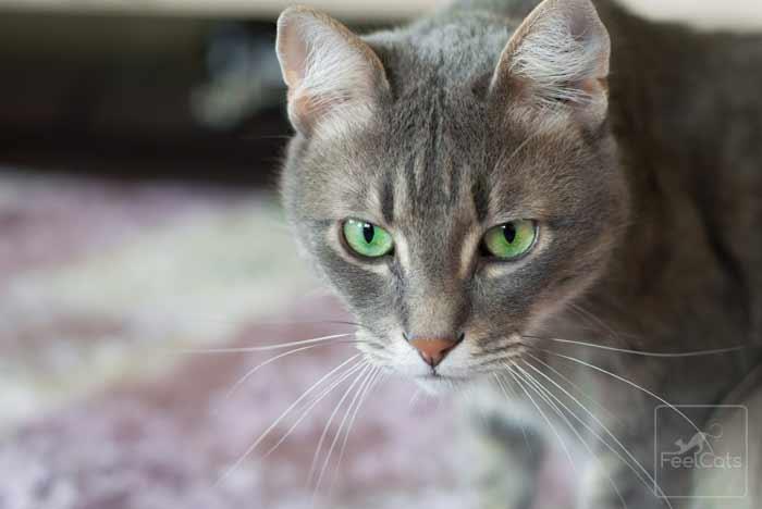 gato-comun-gris