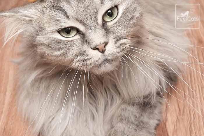 gato-gris-pelo-largo