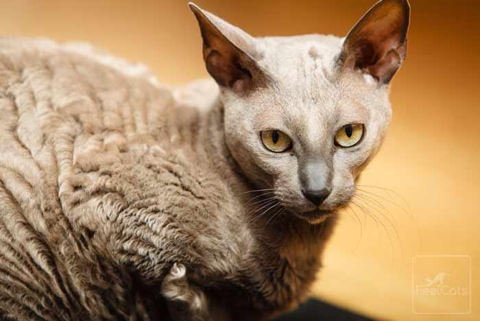 gato-gris-raza-mau