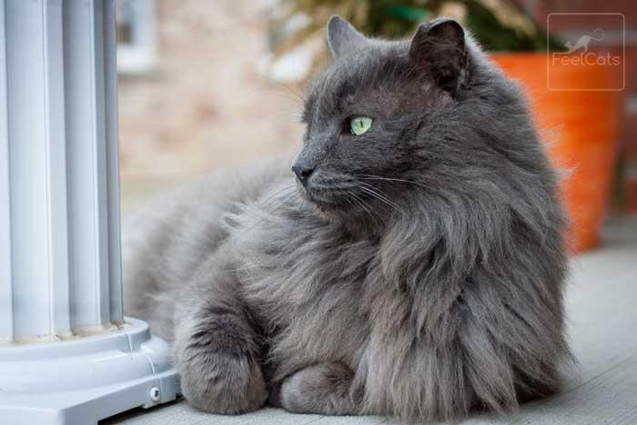 gato-gris-nebelung