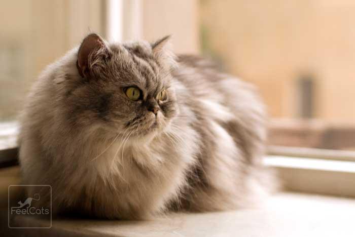 gato-persa-gris