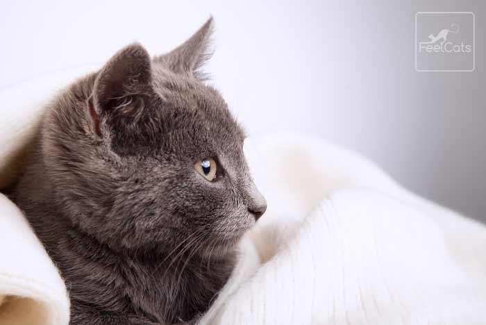 gato-grisaceo