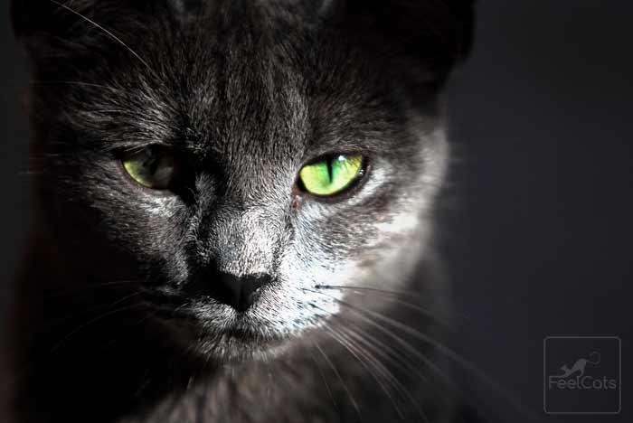 korat-gato-gris