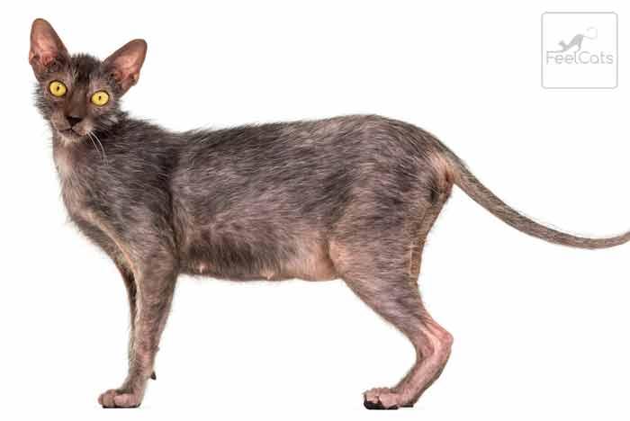 lykoi-gato-gris-lobo