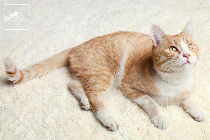 gato-naranja-blanco