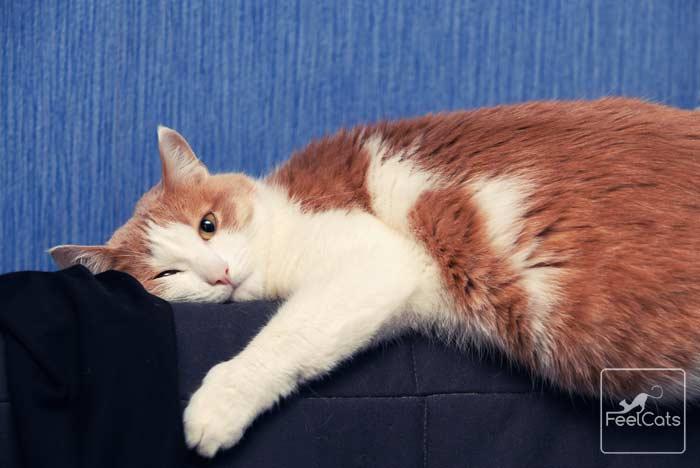 gato-rubio-pelirrojo