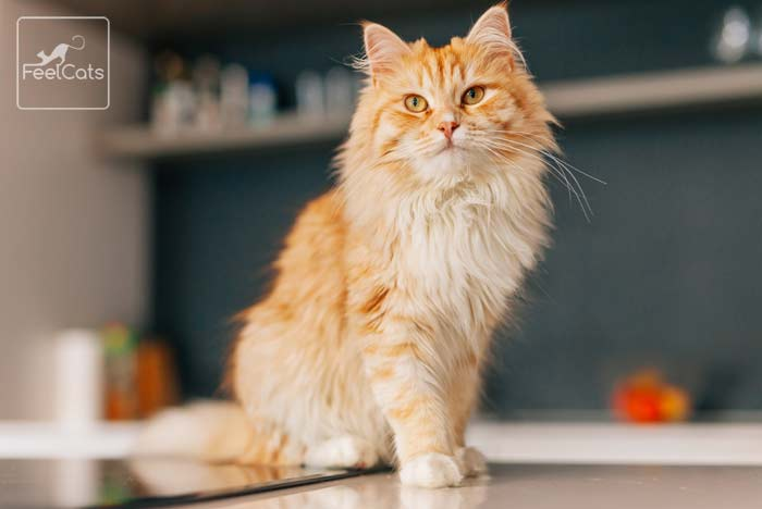 gato-naranja-pelo-largo